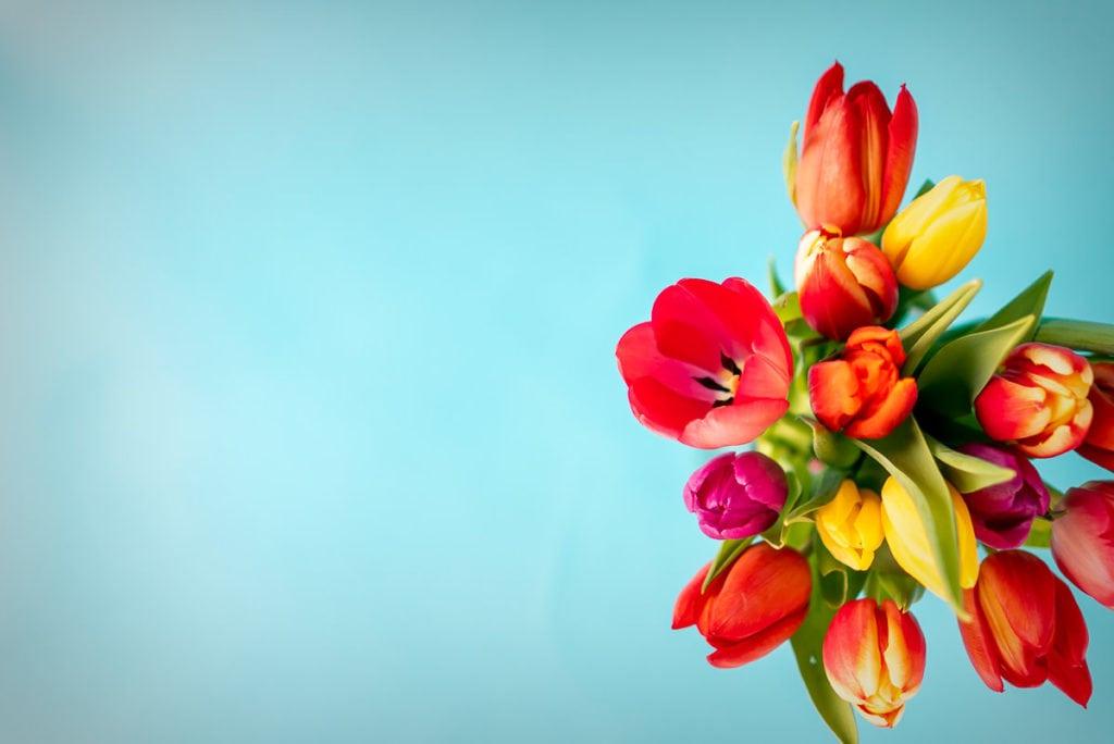 Ein Bund bunter einfacher, früher Tulpen