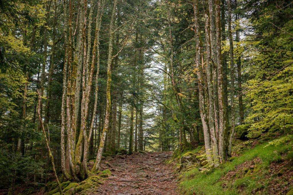 Hohe Bäume flankieren die Wanderstrecke.
